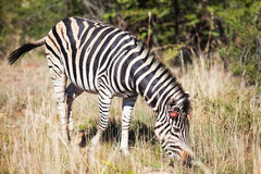 Single wounded zebra grazing between tall grass Royalty Free Stock Image