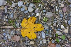 Single yellow autumn leaf top view on forest path. Season Stock Images