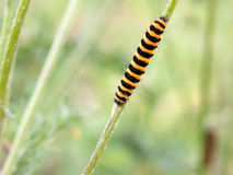 Single yellow and black caterpillar crawling down green stem Stock Images