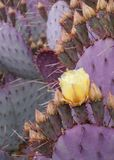 Yellow cactus flower on background of spiny purple cactus leaves royalty free stock photo