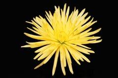 Single yellow chrysanthemum. On black background Royalty Free Stock Photo