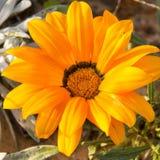 Single Yellow Chrysanthemum flower Royalty Free Stock Images