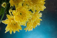 Close-up of a fresh yellow chrysanthemum royalty free stock images