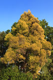 Single yellow colored autumn tree Royalty Free Stock Photo