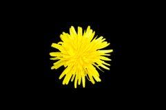 Single yellow colored dandelion Taraxacum flower top view isolat Royalty Free Stock Photos