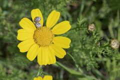 Crown Daisy and Two Snails in the Ruhama Forest in Israel royalty free stock images