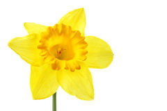 Single yellow daffodil Stock Images
