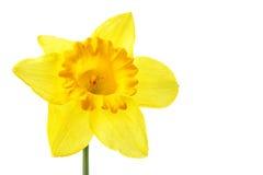 Single yellow daffodil Stock Images