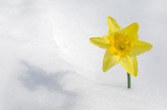 Daffodil in snow Royalty Free Stock Photography