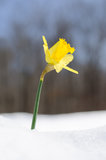 Daffodil in snow Royalty Free Stock Photo