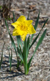 Single Yellow Daffodil. Single bright Yellow Daffodil marking the beginning of Spring Stock Photo