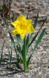 Single Yellow Daffodil Stock Photo