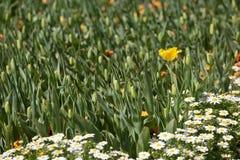 Single Yellow Daffodil royalty free stock image