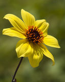 Single Yellow Dahlia - Dahlia variabili. This is a single yellow dahlia, Dahlia variabili, that is grown as an annual. It has golden stamens and a brown heart stock image