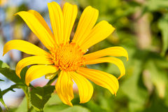 A single yellow daisy Stock Photo