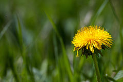 Single yellow dandelion flower in green grass with plenty of cop Royalty Free Stock Photography