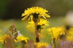 Single yellow dandelion head Stock Image