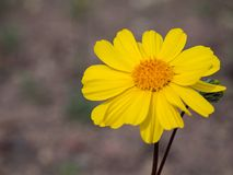 Single yellow desert sunflower portrait with soft background and room for copy royalty free stock photography