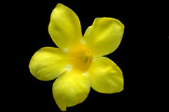 Single Yellow Flower Royalty Free Stock Photography