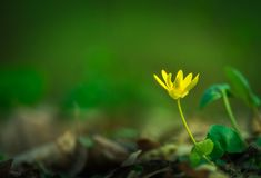 Single yellow flower with a green background. Single yellow flower with a clear green background during spring day Royalty Free Stock Images