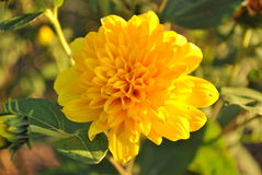 Single yellow flower Royalty Free Stock Images