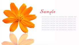 An single yellow flower isolated on a white backgr Royalty Free Stock Images
