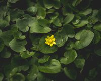 A single yellow flower in a sea of green royalty free stock photos
