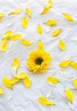 Single yellow flower on white paper background with petals aroun Royalty Free Stock Image