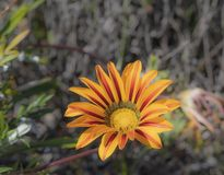 Single Yellow Gazania royalty free stock image