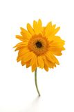 Single yellow gerber daisy stock image