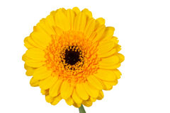 Single yellow gerbera flower closeup Stock Image