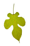 Single yellow-green mulberry leaf over the white. Backround Royalty Free Stock Photo
