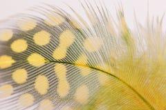 Single Yellow Guinea Feather Macro Background Stock Image