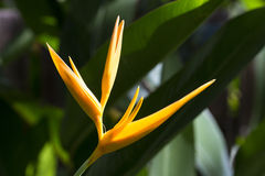 Single Yellow Heliconia Stock Images