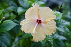 Single yellow hibiscus blossom after the rain Royalty Free Stock Image