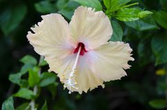 Single yellow hibiscus blossom after the rain Stock Photography
