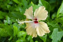 Single yellow hibiscus blossom after the rain Royalty Free Stock Photo