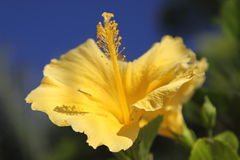 Single Yellow Hibiscus Royalty Free Stock Images