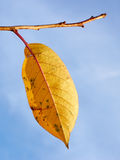 Single yellow leaf of cherry tree Royalty Free Stock Images