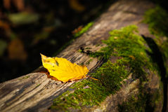 Single yellow leaf resting on decaying log Stock Photos