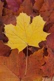 Single yellow leave on autum foliage. Single yellow maple leave on dry golden autum foliage Royalty Free Stock Photo