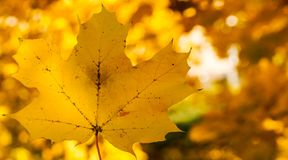 Single yellow maple leaf on a background of yellow autumn forest. Photo Stock Photography