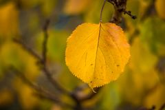 . Single yellow orange autumn apricot leaf against green bokeh blurred background, healthy organic food grown sustainable in famil stock photo