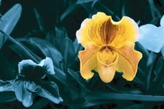 Single yellow orchid on deep blue background royalty free stock photography
