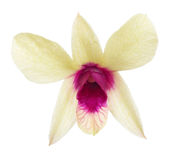 Single yellow orchid flower with pink center Royalty Free Stock Photography
