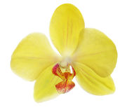Single yellow orchid flower on white Stock Photo