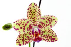 Single yellow orchid with purple spot Royalty Free Stock Photography