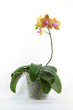 Single yellow orchid with purple spot Royalty Free Stock Image