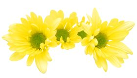Single yellow pompon daisy Stock Photo