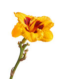 Single yellow and red flower of a daylily isolated Stock Images